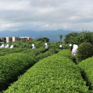 静岡県の『日本平お茶会館』でお茶摘み体験をしてきました。美味しいお茶と茶葉のてんぷらも食べられます。