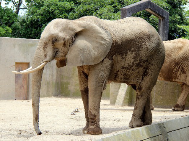 鎖につながれた象